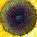 Spiralic Sunflower Structure