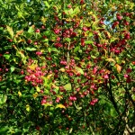 Fruits of the Spindle Tree
