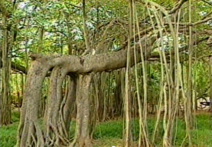 banyan_tree_adyar