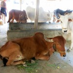 """The """"gosala"""" cowshed, as a worship to the cows"""