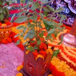 A tulsi plant, the holy basil