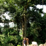 The huge banyantree near the temple (inside no photos were allowed)