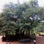 Banyan tree at Konark Sun Temple